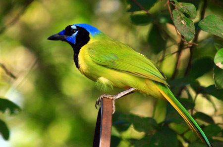 Green jay - American Forests Magazine Autumn 2012