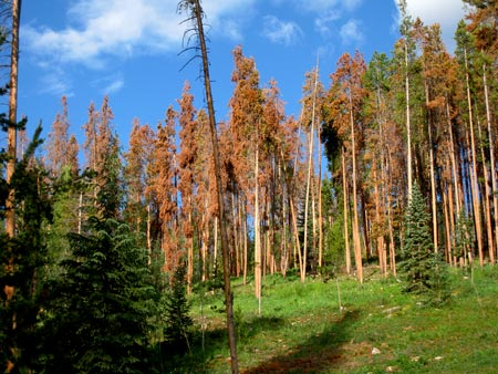 Lodgepole Bark Beetle Damage - American Forests Magazine Autumn 2012