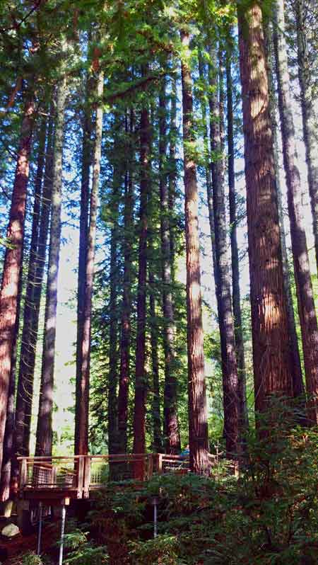 From the Redwood Deck, I was able to get a 360-degree view of these gigantic trees. It's quite a peaceful and humbling experience.