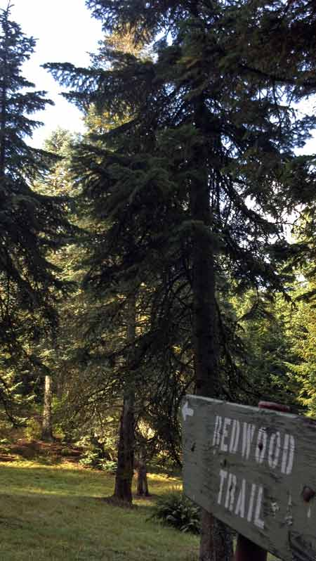 After stopping by the visitor center to grab a map, I was ready to hit the trails. I started out on the Redwood Trail, which features rich groves of redwoods and sequoias.