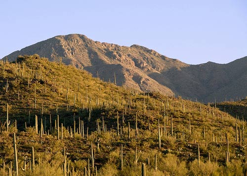 Young Saguaro Forest