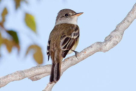 Willow flycatcher.