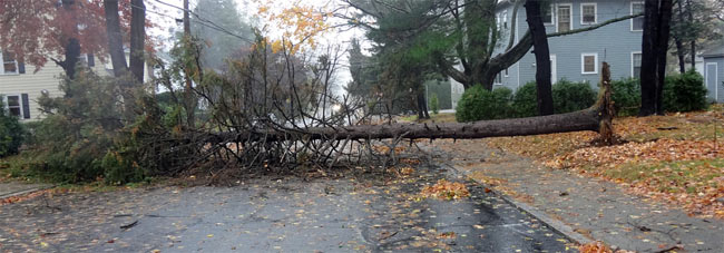 Pine tree blocking a street in Boston