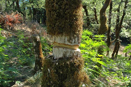 A girdled tree in a California national forest due to illegal marijuana crops.