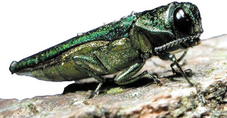 Emerald ash borer. Credit: USDA