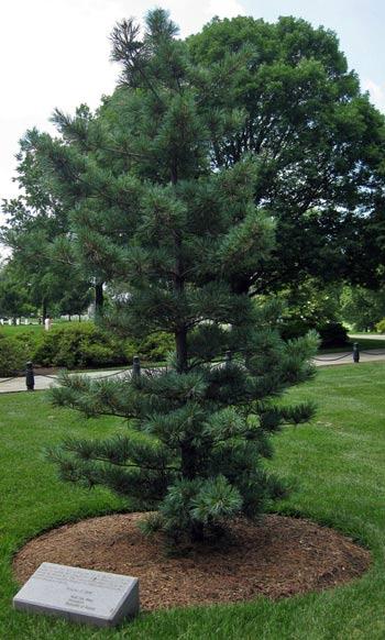 A Korean pine near the Korean War Contemplative Bench in Arlington National Cemetery commemorates Korean War veterans
