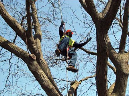 Arborist in tree. Credit: City of Milwaukee