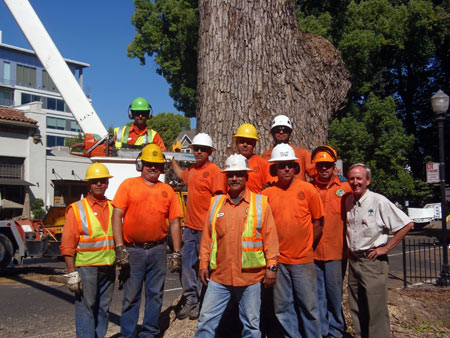 Sacramento Urban Forestry staff members and others during the removal of an old camphor tree in the city's midtown area. Credit: City of Sacramento