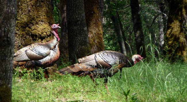 Wild turkeys in Henry W. Coe State Park