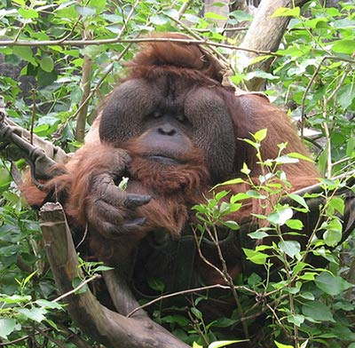 Adult male orangutan
