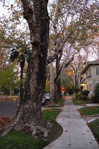 Street trees in Sacramento