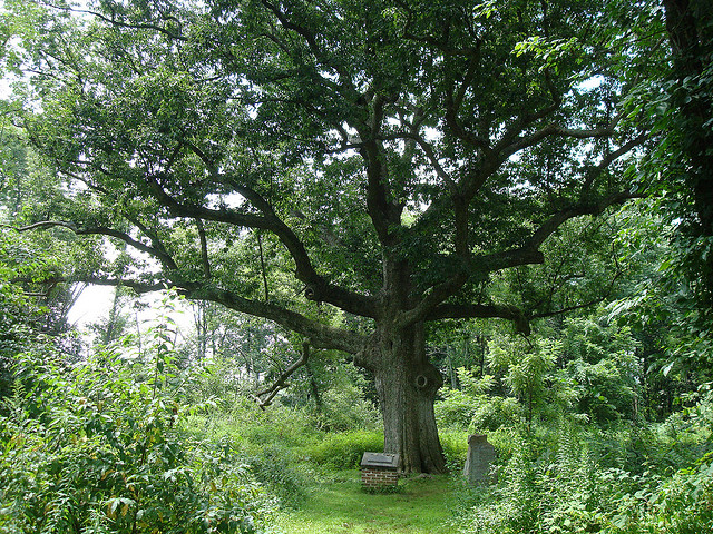 The Sacred Oak in Oley, Pennsylvania. Credit: subindie/Flickr