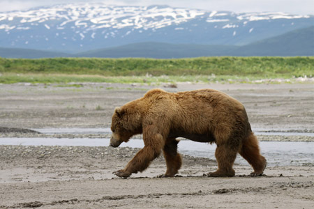 Grizzly bear in Katmai National Park and Preserve