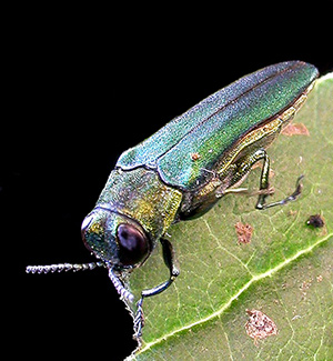An adult emerald ash borer feeding on a leaf.