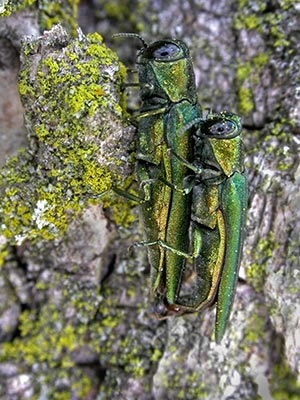 Adult emerald ash borers mating.