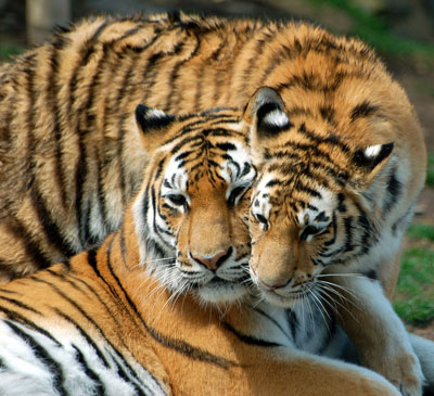 Tigers Welcome Return American Forests