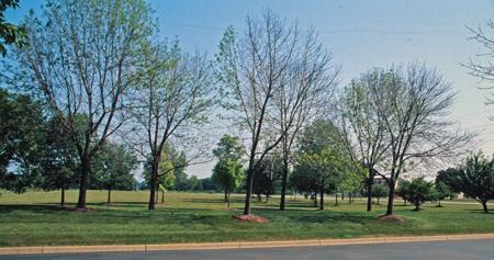 Dead ash trees in Ann Arbor, Mich.