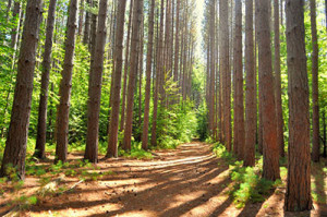 An avenue of pines in Mohawk Trail State Forest.