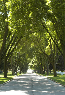 Ash trees in a Toledo, Ohio neighborhood in June 2006.