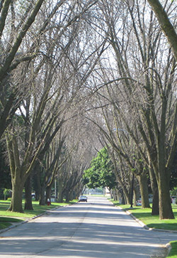 Toledo, Ohio trees after emerald ash borer in August 2009.