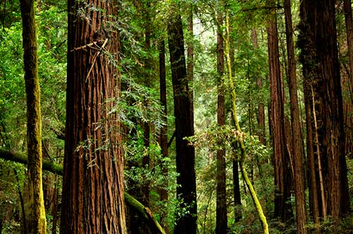 Redwoods, Muir Woods National Monument, California. Credit: Benjamin Zack