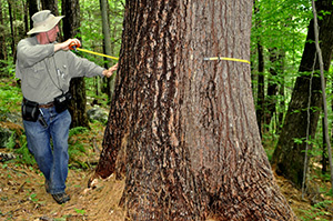 Robert Leverett measures the circumference of an eastern white pine.