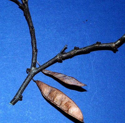 Eastern redbud fruit