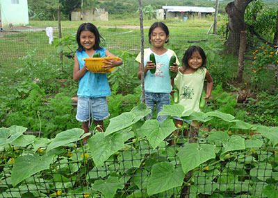 Harvesting cucumbers from a vegetable garden. Photo: