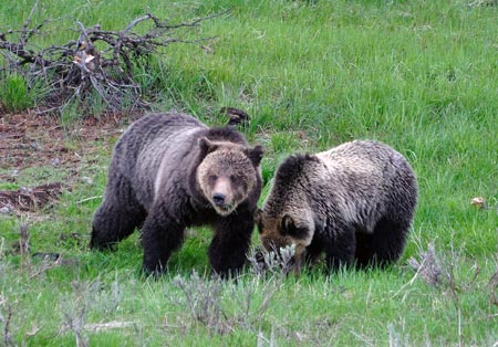 Grizzly bears in Yellowstone National Park