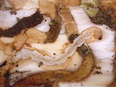 Larvae feeding on the trunck of an ash tree.