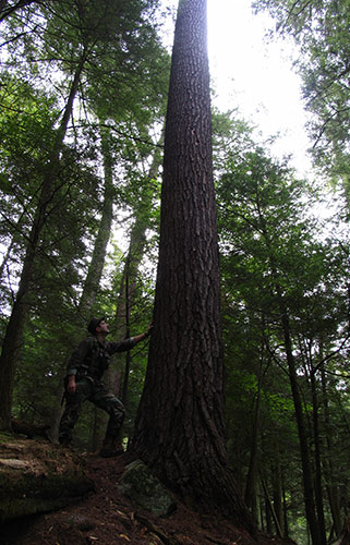 Dale Luthringer stands at the base of the Longfellow Pine.