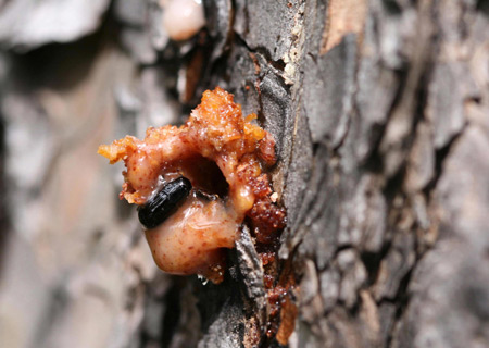 A mountain pine beetle excavating a tunnel in a ponderosa pine