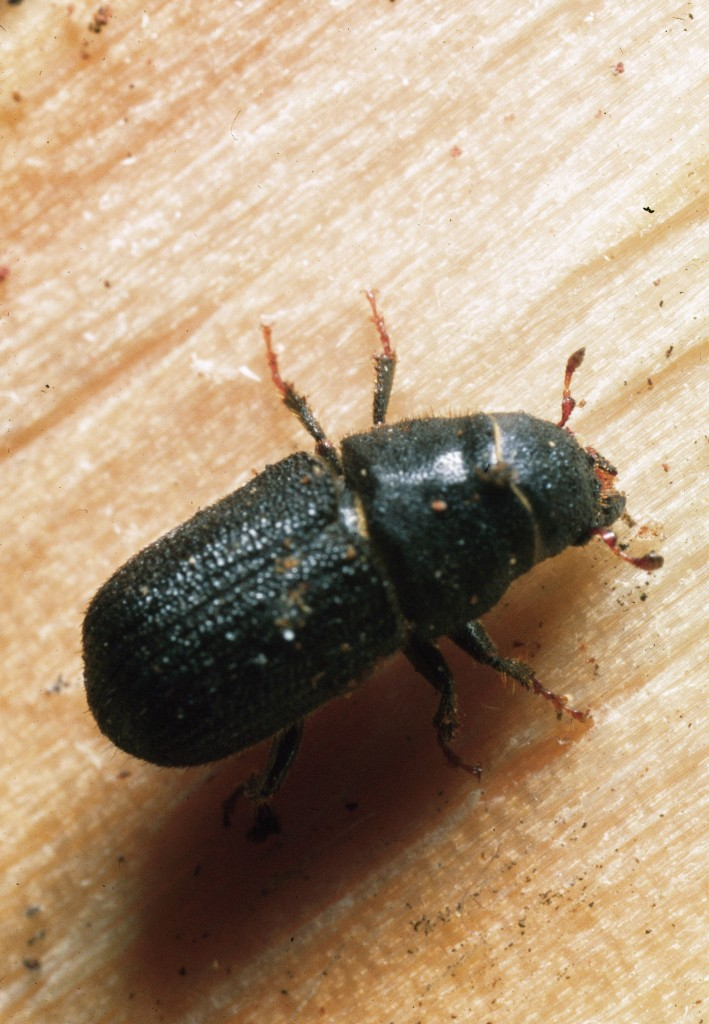 Mountain Pine Beetle. Credit: Ron Long