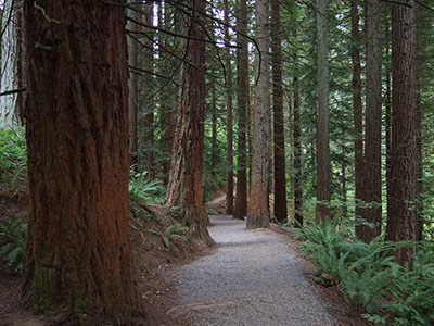 Redwood trees line a hiking trail at Hoyt Arboretum.