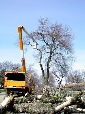 Ash trees cut down dur to EAB.