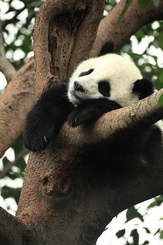 Giant panda.