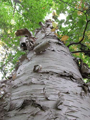 The white trunk, peeling bark and prominent lenticels of paper birch
