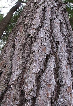 ridges on mature eastern white pine