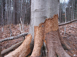 An American beech stripped by beavers