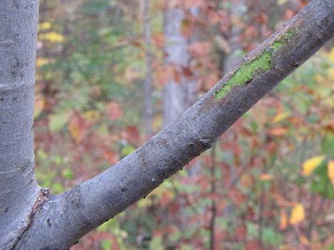 Green cork skin in interior layer of bark