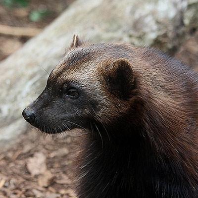 Wolverine. Credit: Leo Reynolds/Flickr