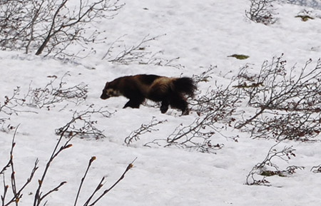 Wolverines rely on deep snow for their dens. Credit: Glacier NPS/Flickr.