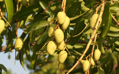 Ripening fruit on a mango tree (Mangifera indica)