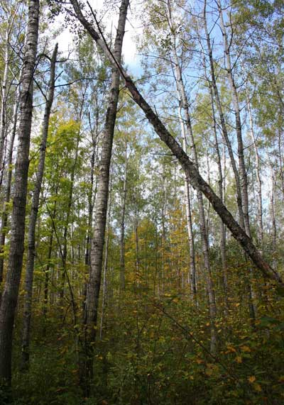 A quaking aspen (Populus tremuloides) stand