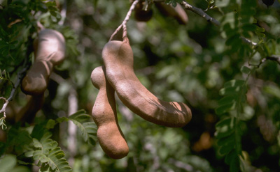 Fruit on a tamarand tree (Tamarindus indica)