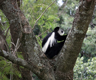 Black-and-white colobus monkey in Kenya