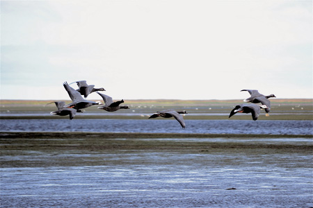 Emperor geese in Izembek National Wildlife Refuge, Alaska