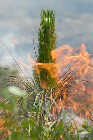 A prescribed burn helps keep a longleaf ecosystem healthy.