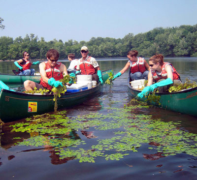 Volunteers remove water chestnut, an invasive species, from Oxbow Lake in Massachusetts.