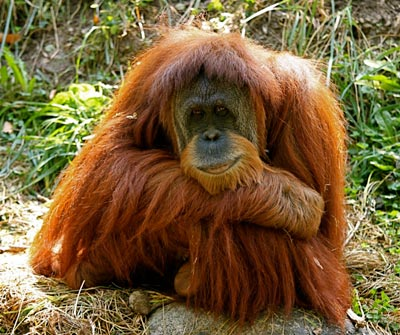 The endangered Sumatran orangutan, a species whose habitat is being restored through a many Global ReLeaf projects over the years. Credit: TomD./Flickr